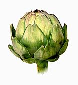 Single artichoke, illustration