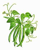 Green beans on a stem, illustration