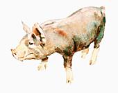 Pig, illustration