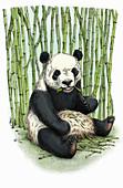 Giant panda sitting eating bamboo, illustration