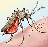 Mosquito feeding on human skin, illustration