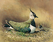 Lapwing sitting in nest with chick, illustration