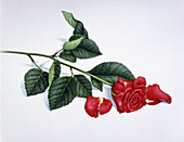 Single red rose with fallen petals, illustration