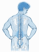 Spine and back bones in transparent man, illustration