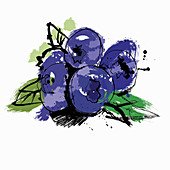 Blueberries, illustration