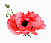 Poppy, illustration
