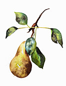 Ripe pear on twig, illustration