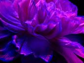 Carnation flower in ultraviolet light