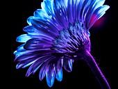 Gerbera flower in ultraviolet light