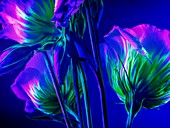 Lisianthus flowers in ultraviolet light