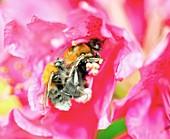 Buff-tailed bumblebees mating