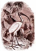 Sacred ibis of Egypt, 19th century