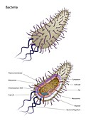 Bacterial cell structure, illustration