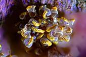 Fern sorus and spore cases, fluorescence light micrograph