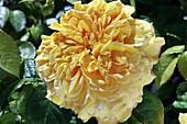 Rose (Rosa 'Leah Tutu') flower