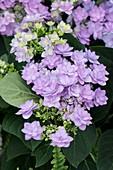 Hydrangea 'Romance Violet'