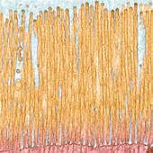 Intestine microvilli, TEM