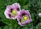 Opium poppy (Papaver somniferum) single flower