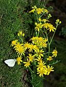 Ragwort (Senecio jacobaea) flowers