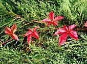 Virginia creeper vine (Parthenocissus quinquefolia)