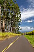 Eucalyptus plantation, Hawaii