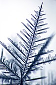 Dendritic branch of a snowflake, light micrograph