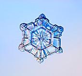 Scrolls on plate snowflake, light micrograph