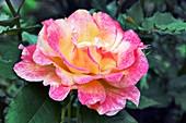 Rose (Rosa sp)