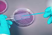 Microbiologist taking bacterial sample