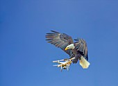 Eagle attacking drone, composite image