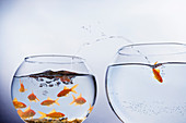 Goldfish escaping from crowded bowl
