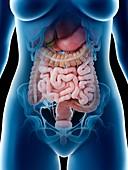 Female abdominal organs, illustration