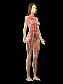 Female musculature, illustration