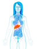 Liver, illustration