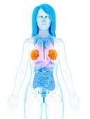 Mammary glands, illustration