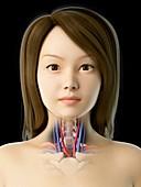 Throat anatomy, illustration