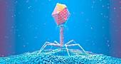 Bacteriophage on bacterium, illustration