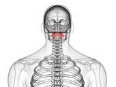 Atlas vertebrae, illustration