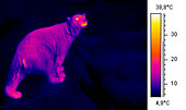 Polar bear,thermogram