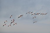 Greater flamingoes coming into land