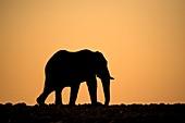 Elephant at sunset in Etosha,Namibia