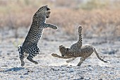 Leopards playing