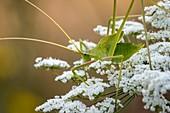 Serville's long-legged bush cricket