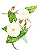Hedge bindweed (Calystegia sepium),illustration