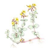 Marsh St Johns wort (Hypericum elodes),illustration