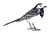 Pied wagtail,illustration