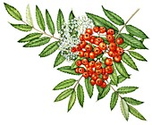 Rowan (Sorbus aucuparia) berries and flowers,illustration