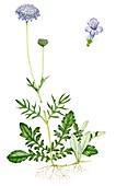 Small scabious (Scabiosa columbaria),illustration