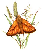 Small skipper butterfly on grass,illustration