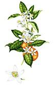 Sweet orange (Citrus sinensis),illustration